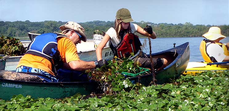 Pulling Invasive Water Chestnuts